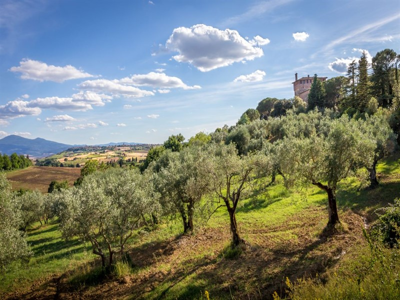 Tuscan country landscape with olive trees in the foreground