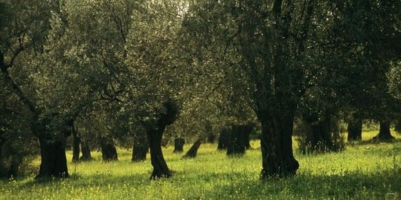 zeytinlik-kanununa-yatirim-duzenlemesi-dekar-basina-15-zeytin-agaci-yoksa_189172694_800x400