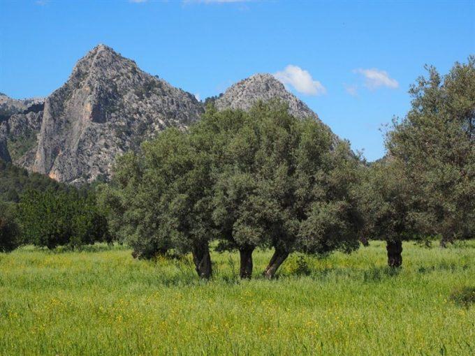 Çanakkale Ayvacık Yeşilyurt/Satılık 1,5 Dönüm Zeytinlik