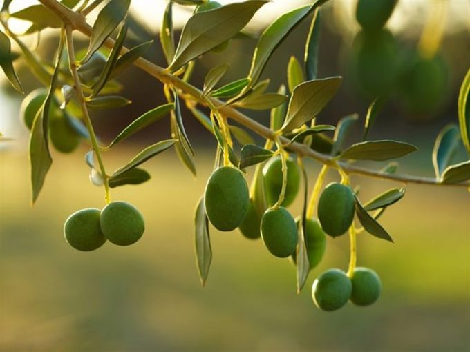 Çanakkale Ayvacık Sazlı'da Satılık 8.5 Dönüm Zeytinlik