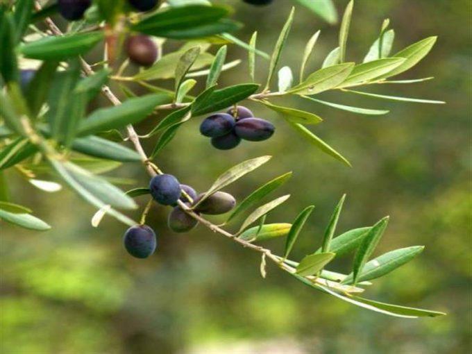 Çanakkale Ayvacık Yeşilyurt/Satılık 8,5 Dönüm Zeytinlik