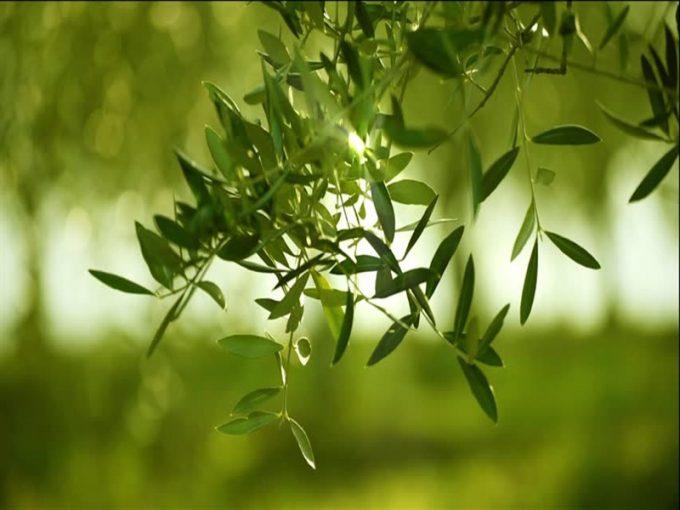 Çanakkale Ayvacık Kayalar/Satılık Köye Yakın Zeytinlik
