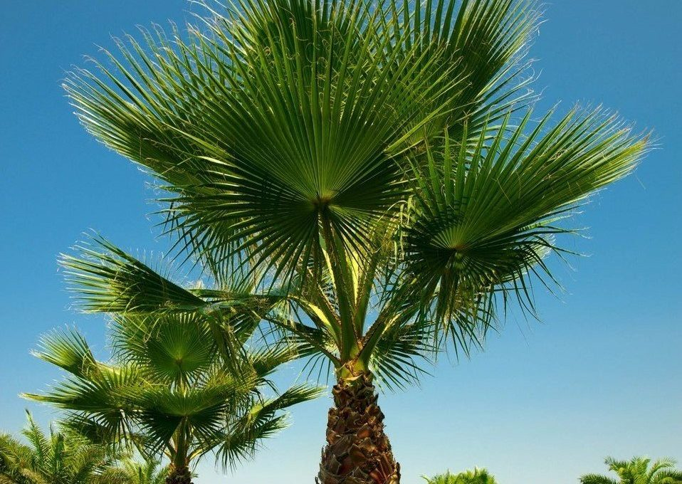 tuplu-washingtonia-robusto-palmiye-fidani