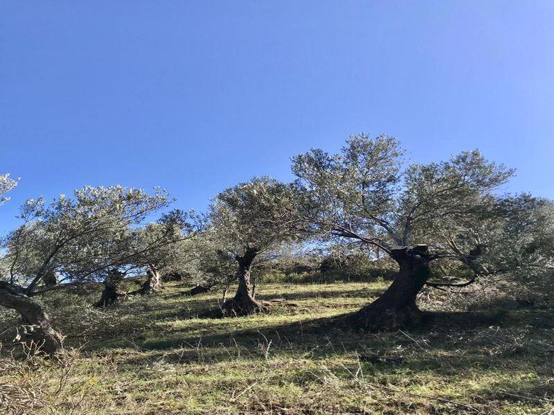 Çanakkale Ayvacık Küçükçetmi/Satılık 5,5 Dönüm Zeytinlik