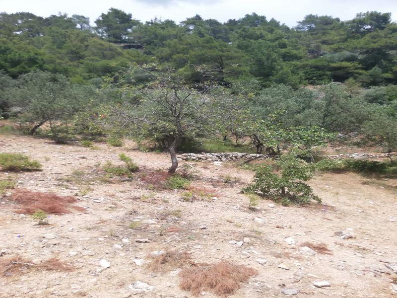 Çanakkale Ayvacık Bahçedere/Satılık 522 m² Zeytinlik